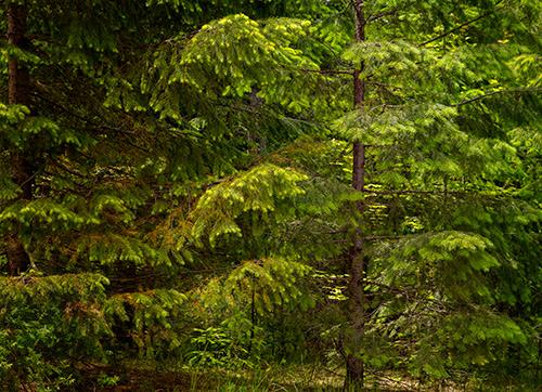 Trees, Oregon